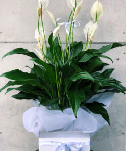 peace-lily-plant-the-lush-lily-brisbane-florist-flower-delivery