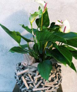 anthirium-plant-brisbane-florist-the-lush-lily