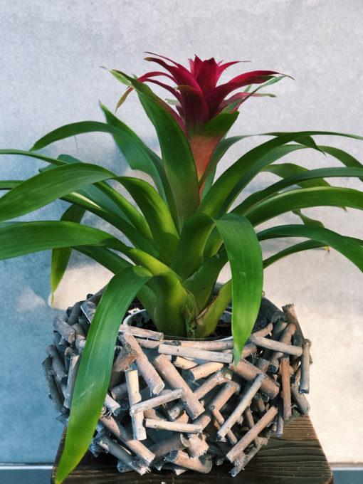 bromeliad-plant-brisbane-florist-the-lush-lily