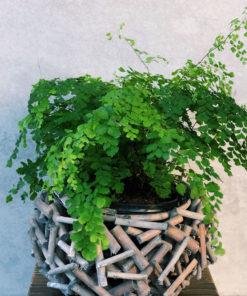 maiden-hair-fern-plant-brisbane-florist-the-lush-lily