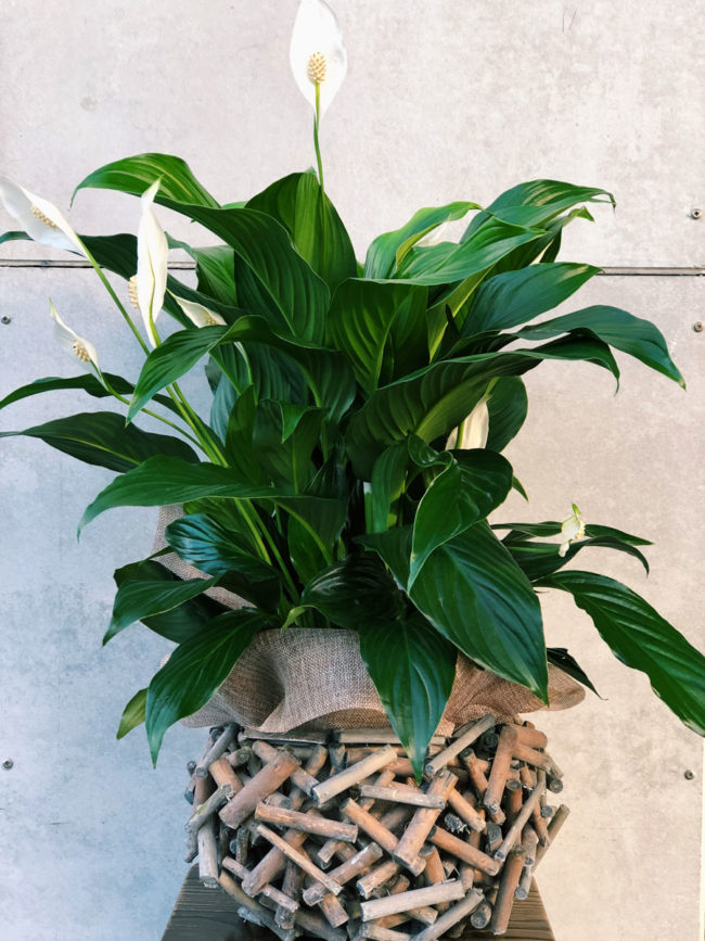peace-lily-in-twiggy-basket-plant-brisbane-florist-the-lush-lily